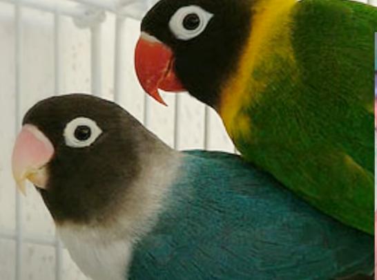 lovebird-dark-green