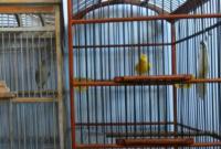 cara-menjodohkan-burung-kenari