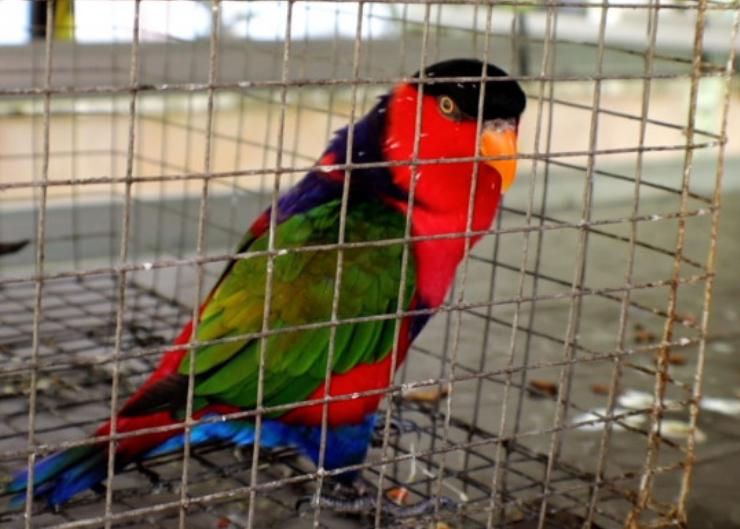 harga-burung-nuri-irian