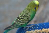 makanan-burung-parkit