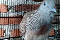 makanan-burung-perkutut