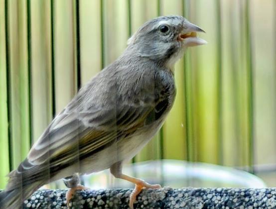 harga-burung-sanger