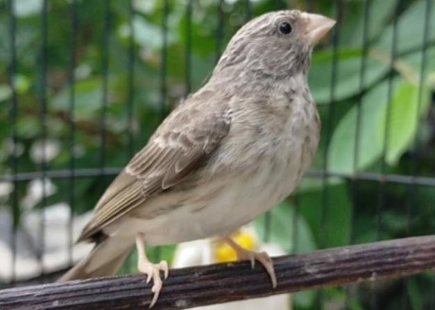harga-burung-sanger-terbaru
