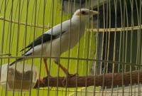 harga-burung-jalak-putih