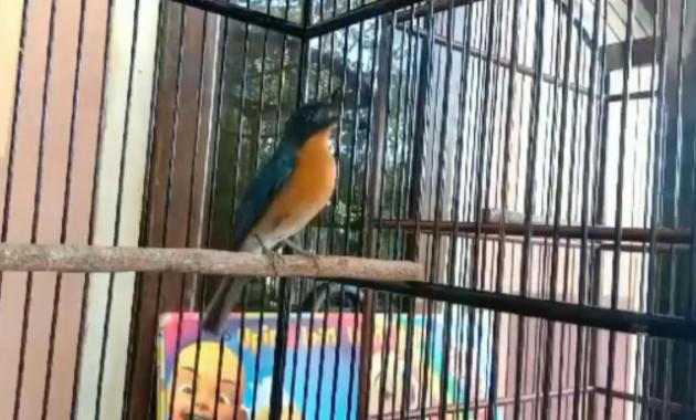 harga-burung-tledekan-bahan