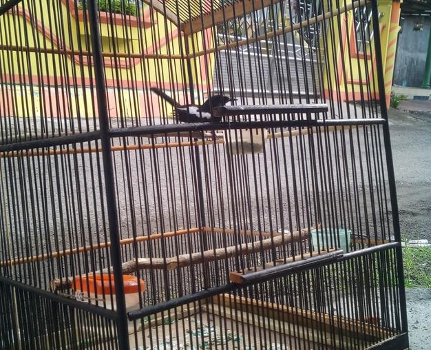 model-tangkringan-burung-kacer