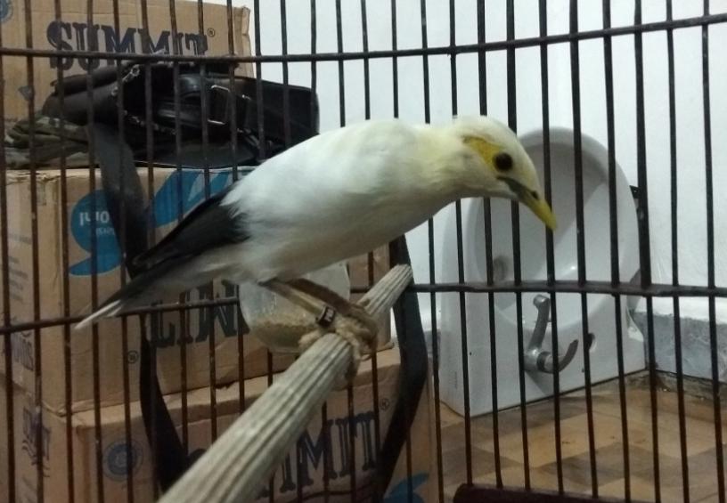 pasaran-harga-burung-jalak-putih