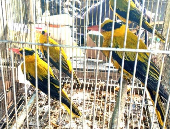 pasaran-harga-burung-kepodang