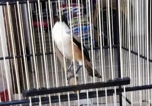 perawatan-harian-burung-cendet