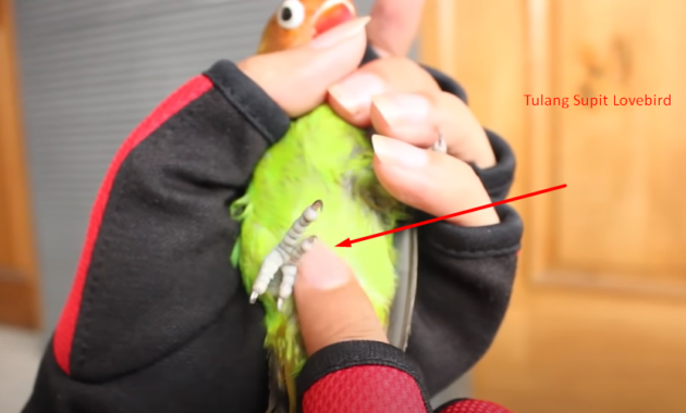 tulang-supit-lovebird