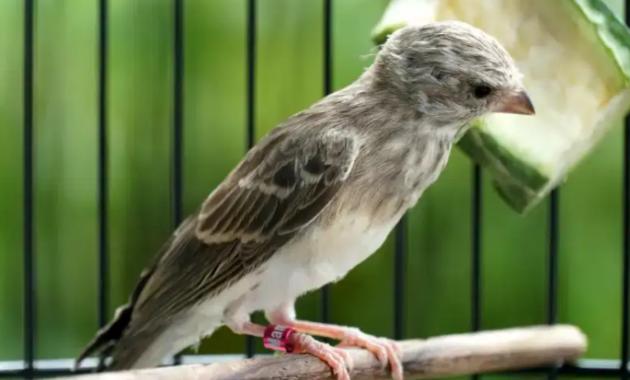 vitamin-untuk-burung-sanger