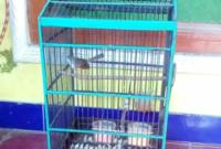 cara-merawat-burung-ciblek