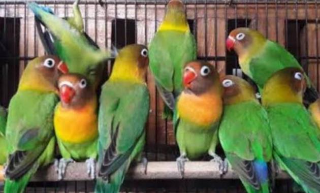 ciri-ciri-lovebird-bagus-ngekek-panjang