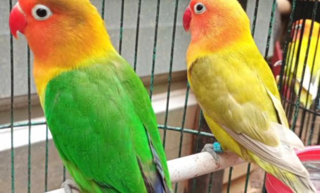 ciri-fisik-lovebird-konslet