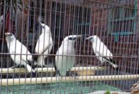 daftar-harga-burung-jalak-bali