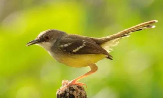 jenis-makanan-burung-ciblek