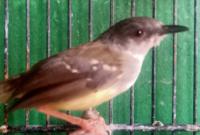 makanan-burung-ciblek
