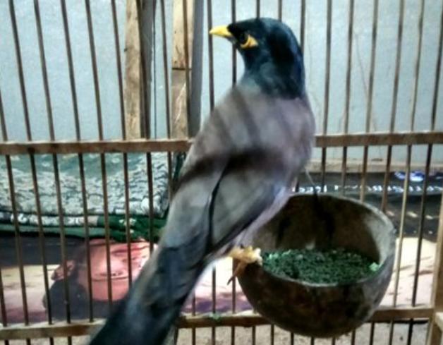 makanan-burung-jalak-nias