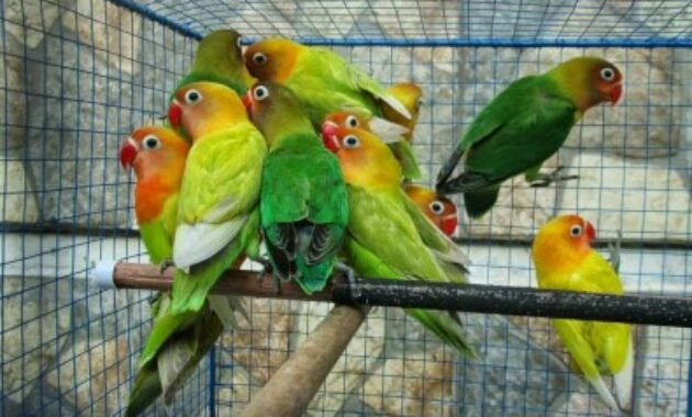 cara-memilih-lovebird-ombyokan-yang-bagus