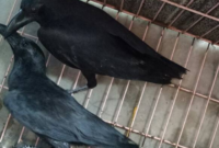 cara-merawat-burung-gagak