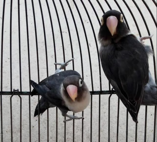 gambar-burung-lovebird-batman