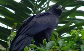 harga-burung-elang-hitam