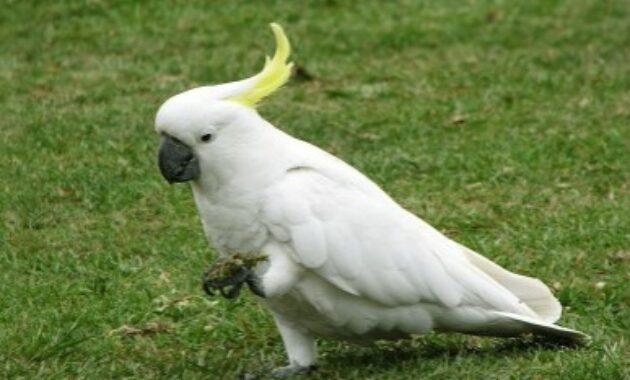 harga-burung-kakaktua-jambul-kuning