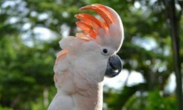harga-burung-kakaktua-jambul-orange
