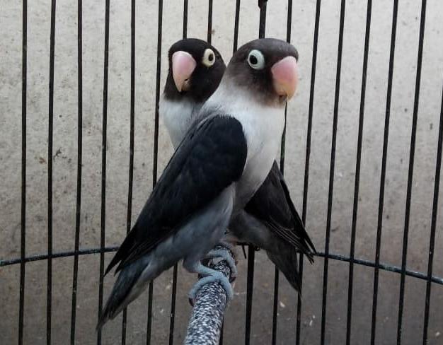 lovebird-batman-kepala-elang
