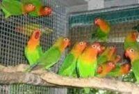 tips-memilih-lovebird-ombyokan