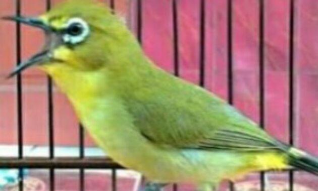 makanan-burung-pleci